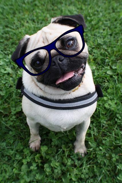 Top Pug Canine Adorable Dog - pug-glasses  Picture_757325  .jpg