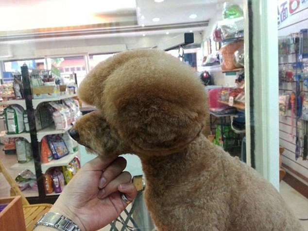 "Pic shows: Dog with shapely haircuts. Dog owners in Taiwan are queueing up to take part in the latest craze by getting their pets shapely haircuts. Although cutting hedges into shapes has been practised for centuries, the idea of cutting a dog's fur to give it similar shapes has only recently taken off, with hairdressers opening up to cater for demand. Hairdresser Tain Yeh, 42, who runs a parlour in the Taiwanese capital Taipei said: ""I am aware of the trend although we don't have much request for it here because it's very difficult to keep the shape. It came about because people were always looking for more impressive haircuts, and somebody came up with the idea of shaping the dog like a hedge."" Pictures of the dogs with their shapely haircuts proved extremely popular on social media platforms prompting ever more people to sign up for grooming and to get shaped dogs of their own. Proud pet owners have realised that having their beloved pet looking groomed and tidy will mean a lot more likes, and a lot more shares, than a messy pet. Tain said: ""The dogs don't mind, and the owners keep coming back for more. This sort of haircut needs a lot more maintenance then the regular type. It is also not suitable for all breeds. The dog needs to have plenty of hair to play around with so that you can shape it around the face and body."" (ends)"