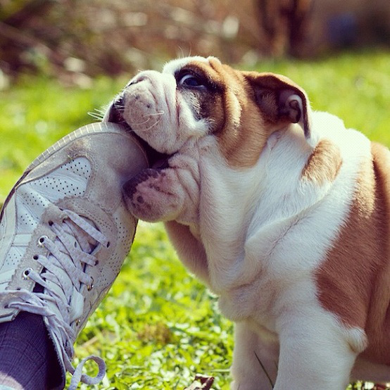 Dog-Chewing-Shoes