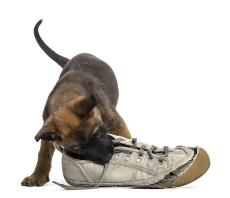Dog-chewing-shoe