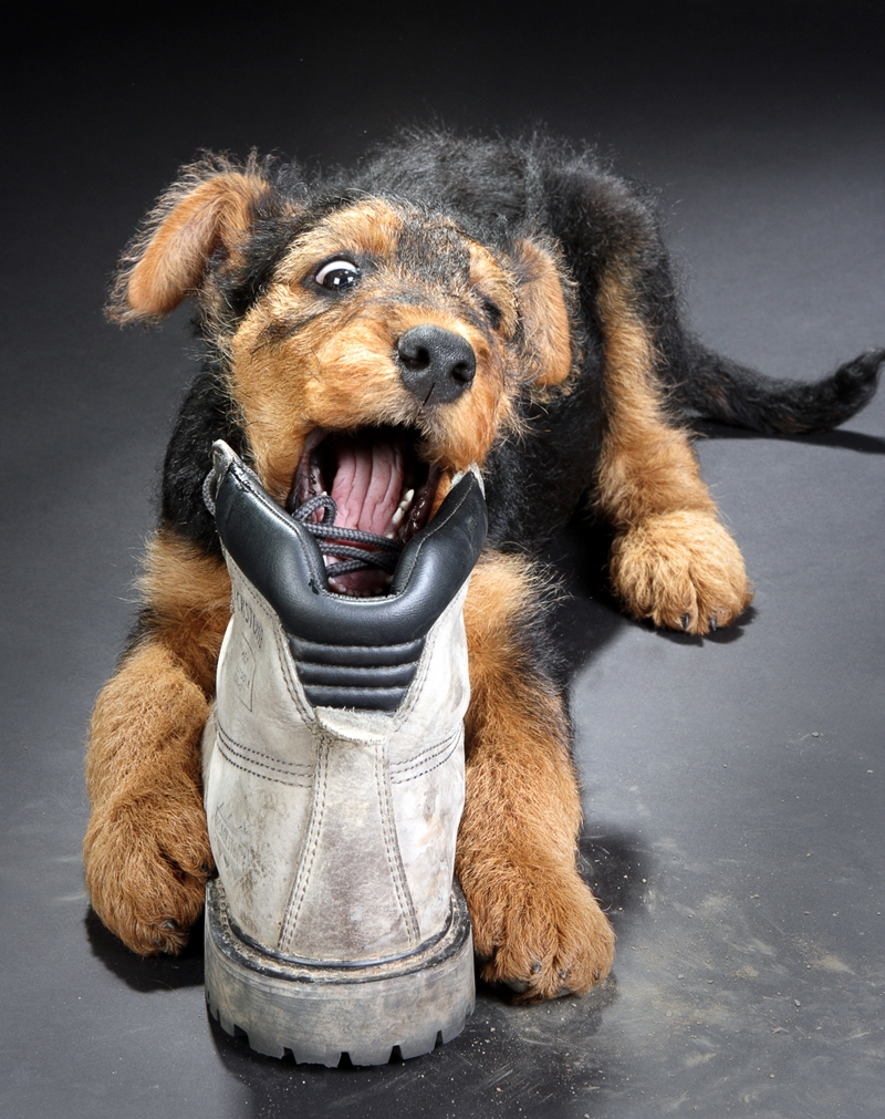 Puppy-chewing-a-shoe
