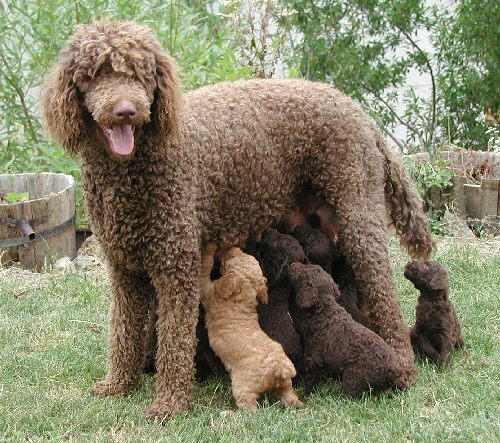 Real French Poodle