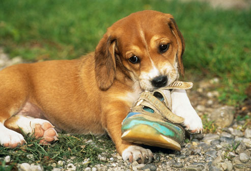 photolibrary_rm_photo_of_puppy_chewing_shoe