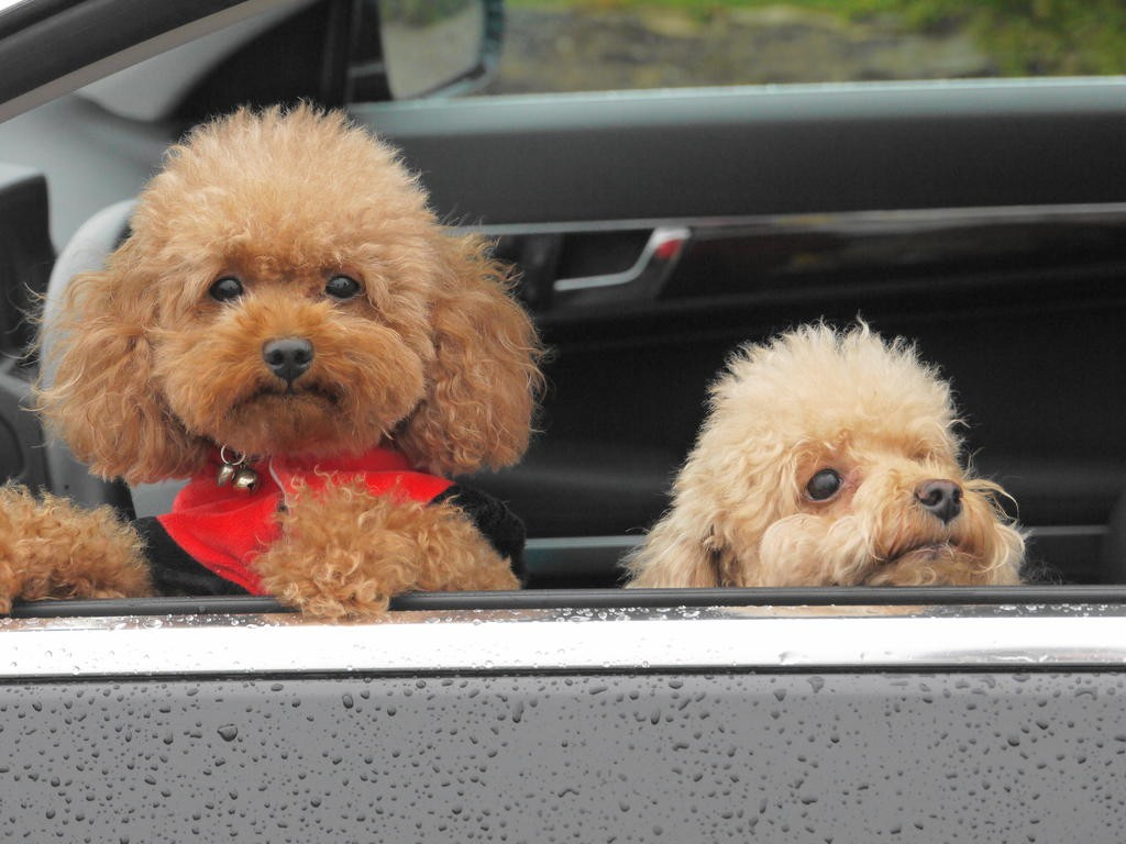 Dog-Toy_Poodle-Two_little_Toy_Poodles_poking_their_heads_out_of_the_car_window