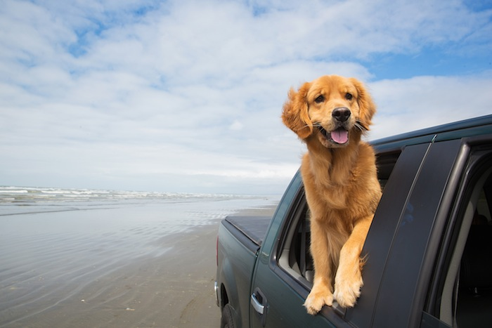 happy golden retriever with his head out the window of a truck