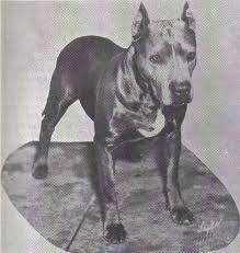 Via staffy-bull-terrier.niceboard.com