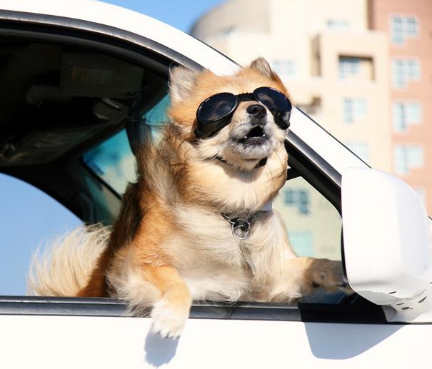 dog-enjoying-car-ride-19