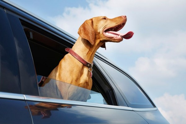 dog-in-car-cover-