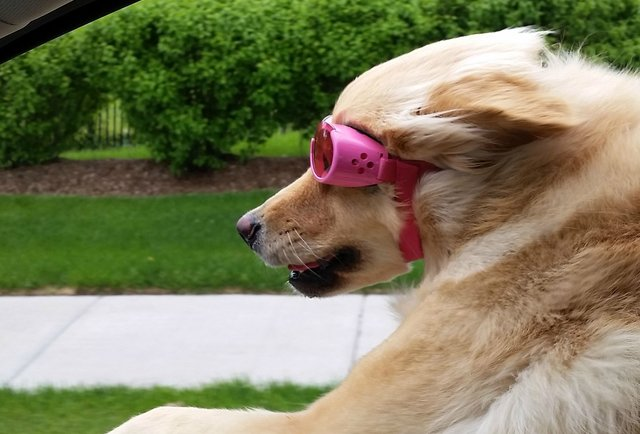 why-dogs-love-sticking-their-heads-out-of-car-windows