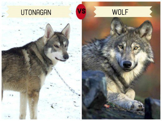 dogs-that-look-like-wolves